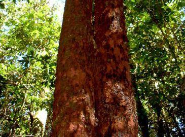 Copaiba oil, amazon resin, traditional use