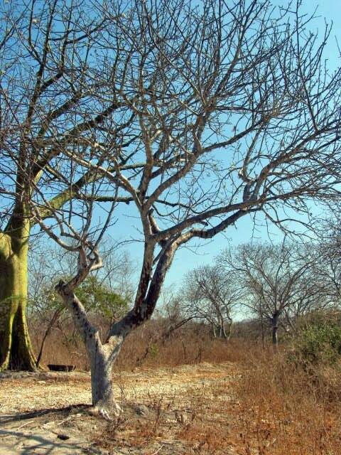 Palo santo wood, cones and oil, metaphysical properties (Bursera graveolens)